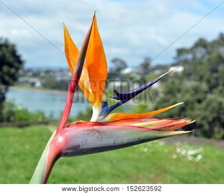 Closeup of Bird of Paradise Flower in Spring at Oneroa Bay Waiheke Island Auckland New Zealand.
