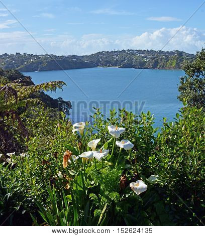 Vertical panorama of Spring Lilly flowers in the foreground of Oneroa Bay Waiheke Island Auckland New Zealand
