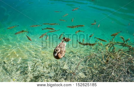 A photo of fishes and duck swimming in a lake, taken in the national park Plitvice, Croatia