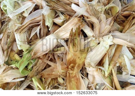 close up husks sweet corn background, from a farm
