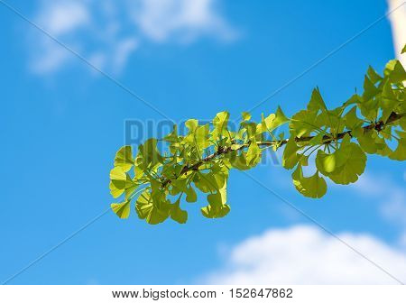 Ginkgo biloba green leaves over the blue sky