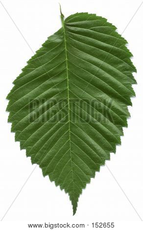 Leaf Of The American Elm Tree