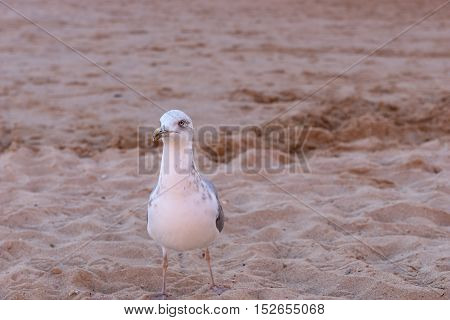 Seagull on the sand beach, Close-up of Seagull