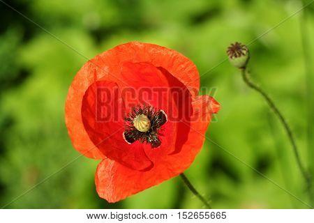 Red Poppy In The Garden Closeup
