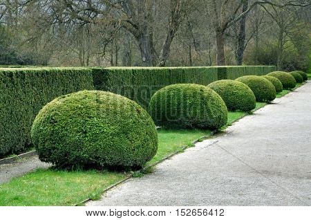 Regular park planting of green coniferous shrubs shorn by a round shape in perspective. Rectangular bushes in the background.