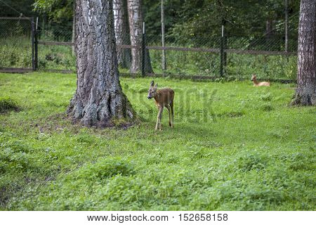 Fawn Goes Path In, Bialowieza National Park