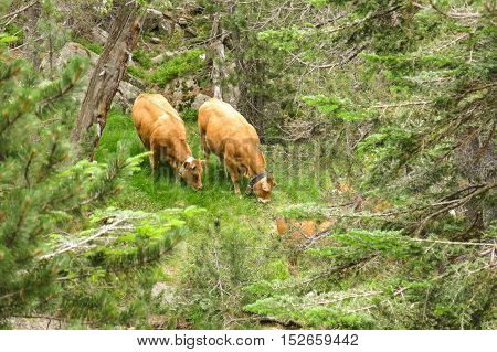 A Herd Of Cows Grazing In The Catalan Pyrenees