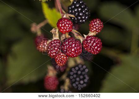 Blackberries Growing In Nature