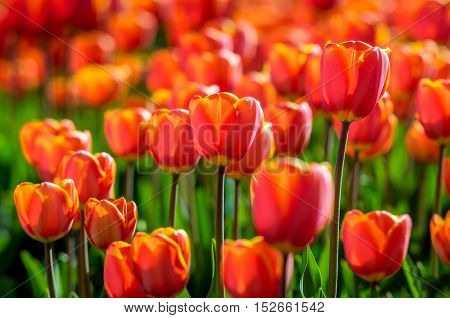 Red and yellow blooming tulips in early morning sunlight growing in the field of a specialized Dutch tulip bulbs grower. It is a sunny day in the early spring season.