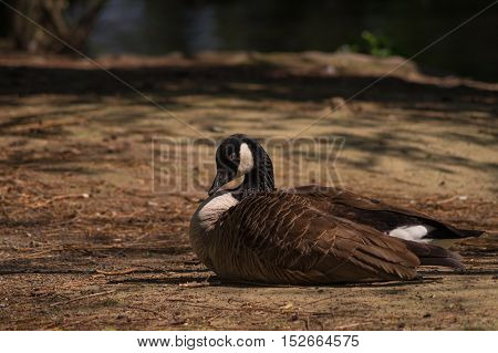 Close up of a relaxing Canada Goose