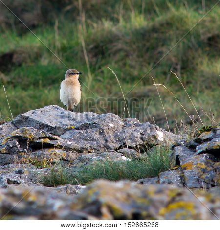 Wheatear (Oenanthe oenanthe) bird on coast to migrate, head on. Summer visitor to Britain in the family Turdidae on Somerset Coast before flying south for winter