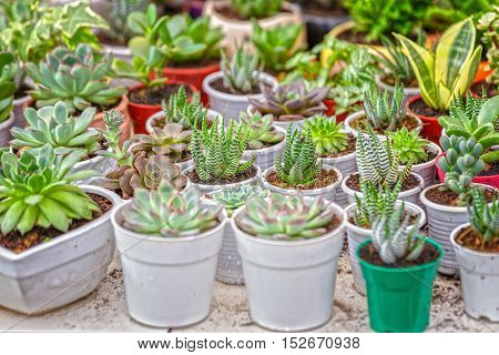 Succulent garden with potted cactus with multiple shapes, different categories used to home decoration and the beauty of feng shui