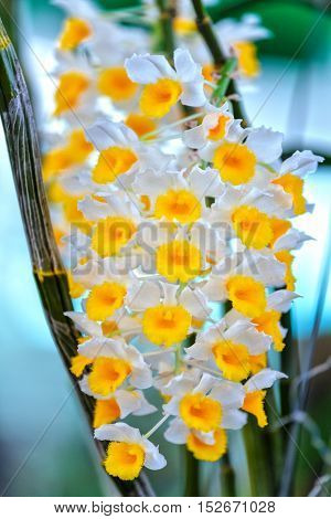 Dendrobium orchid long pendulous flowers blooming with small form long chains like garlands naturally beautiful colorful flamboyance in spring weather.