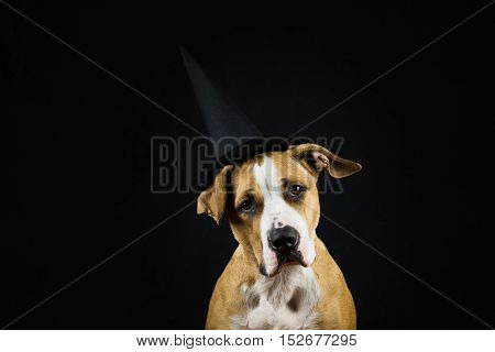 Dog in halloween hat of witch. Image of a dog wearing hat of witch posing for halloween in front of dark background.