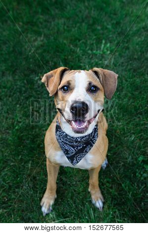 Happy dog in bandana looking up. Smiling staffordshire terrier dog in black bandana sitting on green grass looking up.