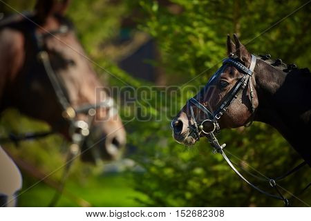 Horses on nature. Portrait of a horses, brown horses