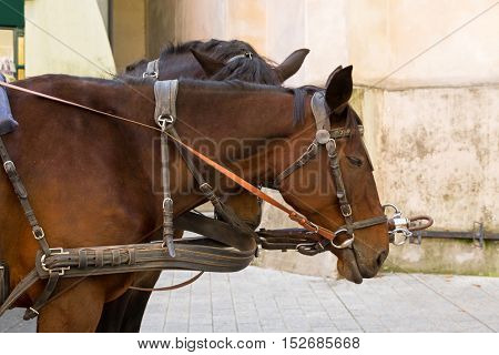 Closeup of Gypsy Horse with horse drawn carriage straps on in Kitzbuhel, Austria