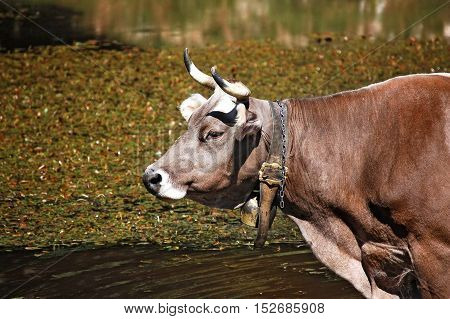 Detail of a brown and white cow (heifer) with horns and cowbell in a pond. Italian Alps