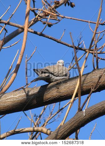 Dove (Streptopelia decaocto) sitting on bare tree branch in front of blue sky view from below