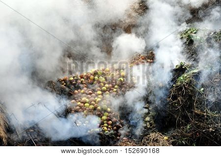 The process of burning trash in autumn. Rotten apples in white smoke.