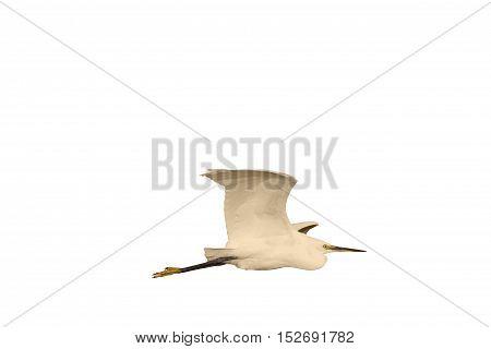 Little egret in flight isolated on white, bird in flight, isolated object, wildlife