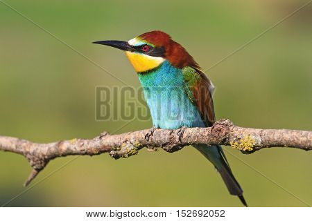 Beautiful bird with colorful plumage, European bee-eater , Merops apiaster