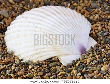 shell. sea mollusk. sea sand close up