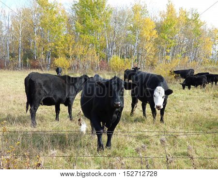 Angus beef cattle out in the pasture with trees in the background.