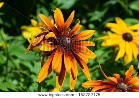 Gorgeous floweirng daisy flowers in a garden.