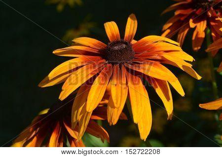 Very pretty blooming gloriosa daisy flower blossom in a garden.
