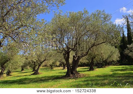 Idyllic rural landscape with olives tree grove and cypress on background Nemea region Peloponnese Greece Europe.