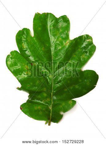Oak leaf isolated on white background. Flat.