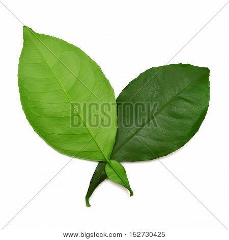Leaf isolated on white background. Flat. Green .