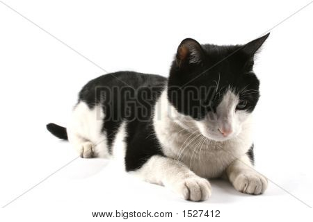 Black and white cat isolated on white poster