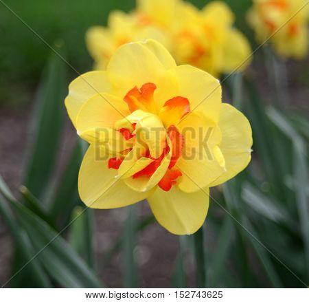 Yellow narcissus. Flower. Flat. Yellow. Red. Macro.