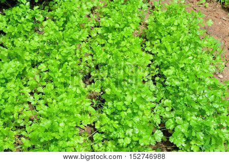 Rows of cilantro growing in the garden.