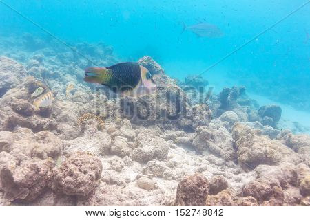 Half-and-half Wrasse (hemigymnus Melapterus)), Maldives