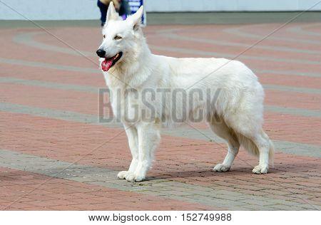 White Swiss Shepherd profile.      The White Swiss Shepherd is in the park.