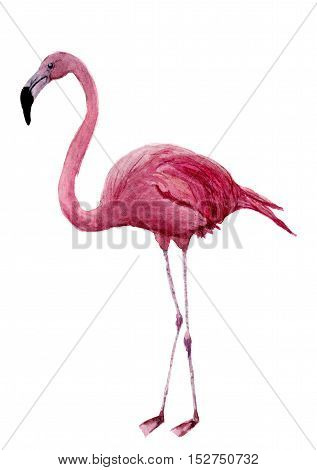 Watercolor flamingo. Exotic wading bird illustration isolated on white background. For design, prints or background.