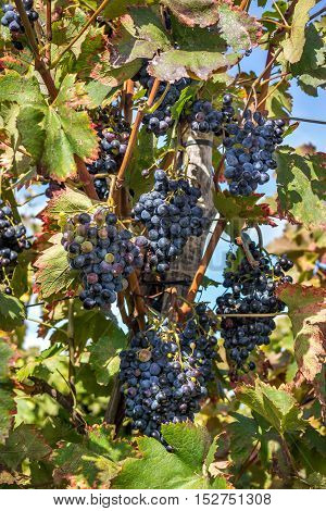 Wine grapes on the vine late in autumn for a late harvest.