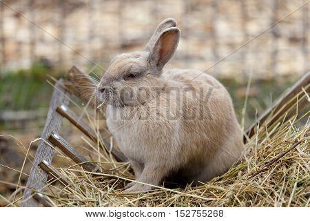 Rabbit eats hay, pet, beige and furry