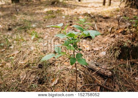 Foreground Focus Of Single Green Vernal Sprout Rame Of Wild Forest Raspberries, Pushing Through Thick Layer Of Fallen Pine Needles In Spring Pine Wood.