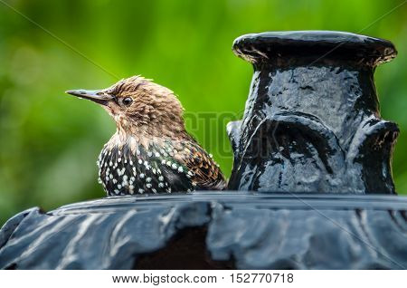 European Common Starling spotted bird on fountain drinking water