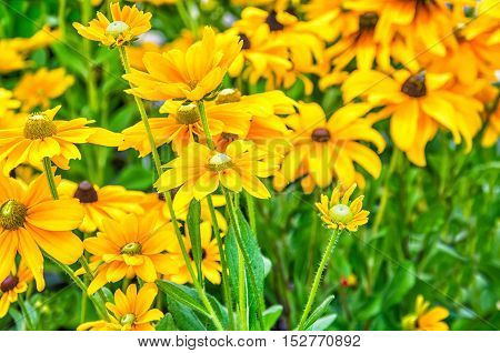 Background of many yellow daisy flowers with white heads in grass