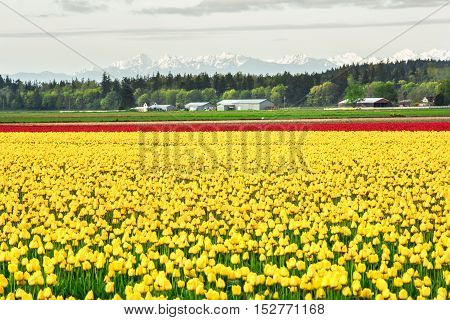 Field of yellow and red tulip rows in countryside with snowcapped mountains in Skagit Valley