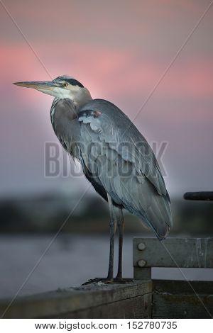 Great Blue Heron (Ardea Herodias) close-up at sunset