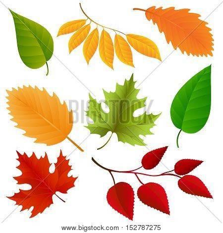 Autumn colors leaves set isolated on white background. Vector illustraton