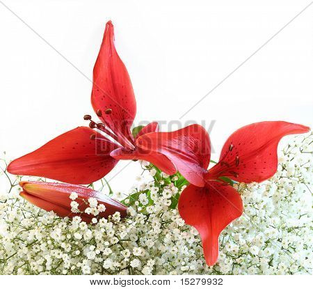 Red lily on baby's breath, isolated.