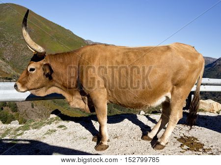 Cachena Cattle is a race of cattle breed from Portugal