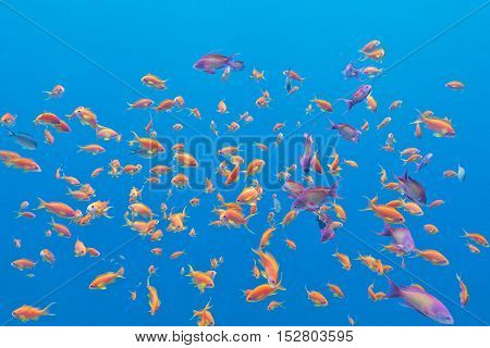 shoal of exotic fishes Anthias in tropical sea on a background of blue water underwater